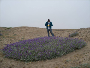 Zach Marine (class of 2009) is studying hybridization between the common plant, Lupinus chamissonis (shown here) and its endangered relative Lupinus tidestromii at Point Reyes National Seashore, California